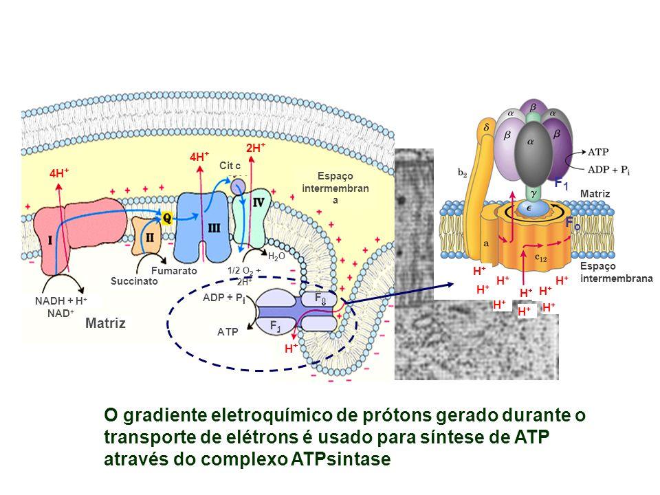NADH + H + NAD + Succinato Fumarato Matriz ADP + P i ATP H2OH2O 1/2 O 2 + 2H + Cit c Espaço intermembran a F1F1 F0F0 H+H+ 4H + 2H + 4H + O gradiente e
