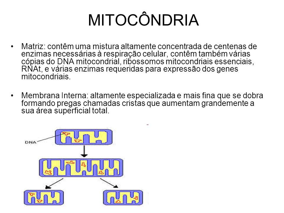 MITOCÔNDRIA Matriz: contêm uma mistura altamente concentrada de centenas de enzimas necessárias à respiração celular, contêm também várias cópias do D