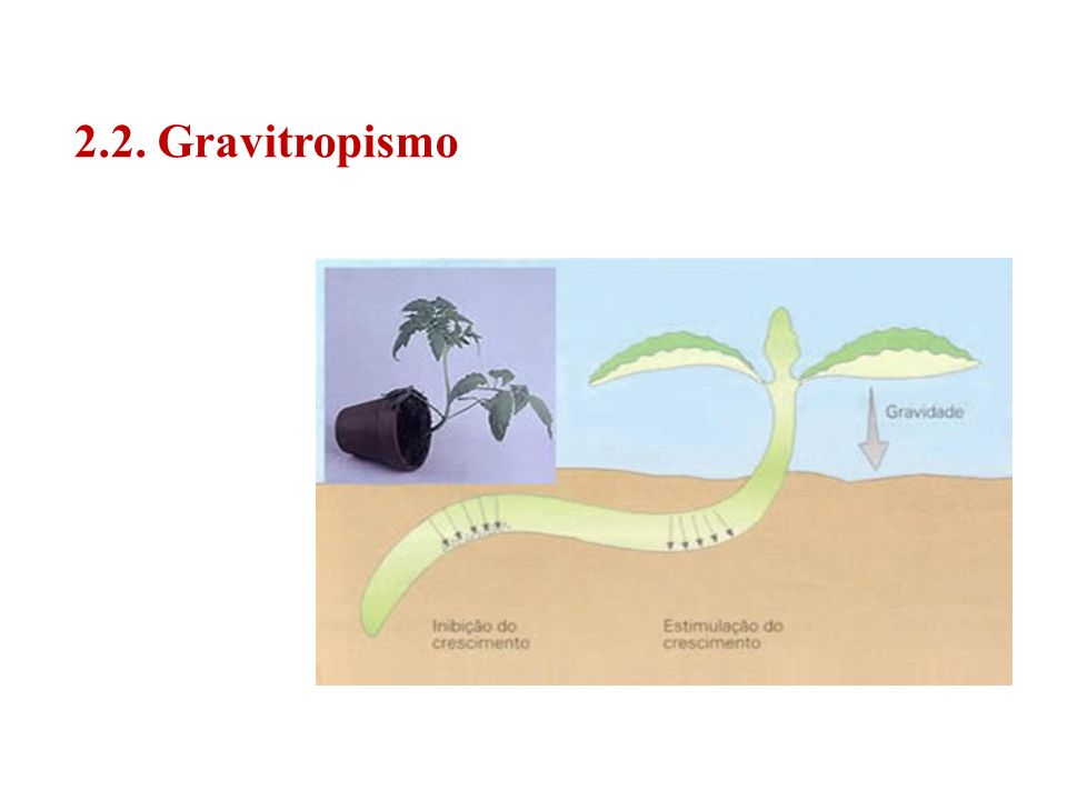 2.2. Gravitropismo