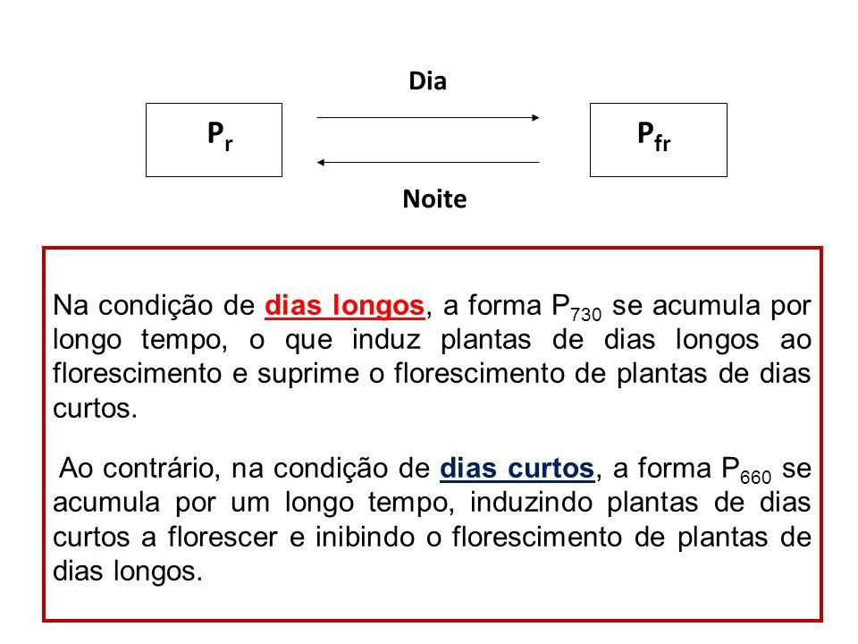 P r P fr Dia Noite Na condição de dias longos, a forma P 730 se acumula por longo tempo, o que induz plantas de dias longos ao florescimento e suprime