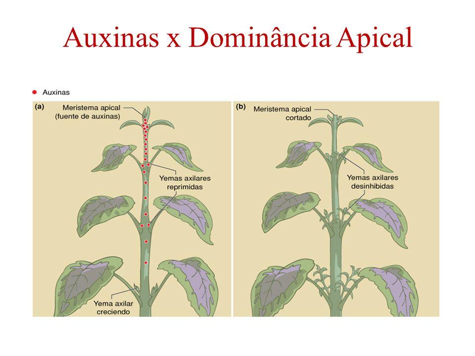 Auxinas x Dominância Apical