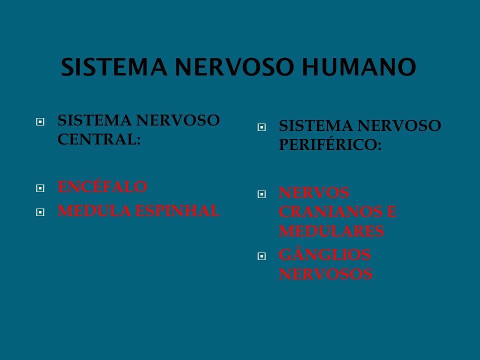 SISTEMA NERVOSO HUMANO SISTEMA NERVOSO CENTRAL: ENCÉFALO MEDULA ESPINHAL SISTEMA NERVOSO PERIFÉRICO: NERVOS CRANIANOS E MEDULARES GÂNGLIOS NERVOSOS