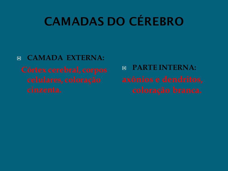 CAMADAS DO CÉREBRO CAMADA EXTERNA: Córtex cerebral, corpos celulares, coloração cinzenta. PARTE INTERNA: axônios e dendritos, coloração branca.