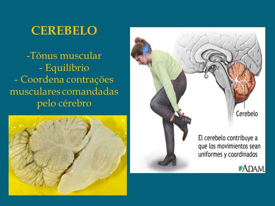 CEREBELO -Tônus muscular - Equilíbrio - Coordena contrações musculares comandadas pelo cérebro