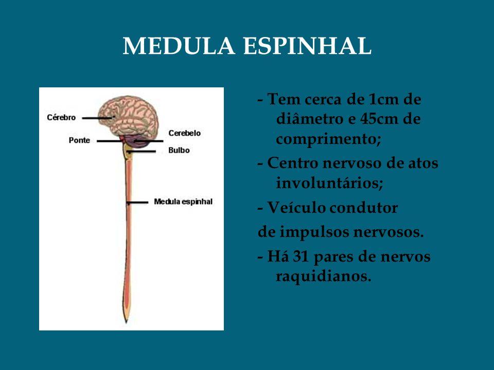MEDULA ESPINHAL - Tem cerca de 1cm de diâmetro e 45cm de comprimento; - Centro nervoso de atos involuntários; - Veículo condutor de impulsos nervosos.