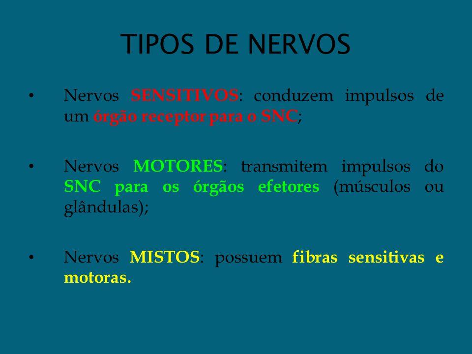 TIPOS DE NERVOS Nervos SENSITIVOS : conduzem impulsos de um órgão receptor para o SNC ; Nervos MOTORES : transmitem impulsos do SNC para os órgãos efe