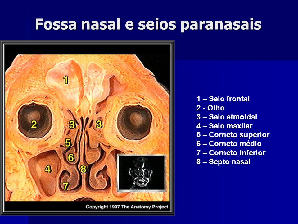 Fossa nasal e seios paranasais 1 – Seio frontal 2 - Olho 3 – Seio etmoidal 4 – Seio maxilar 5 – Corneto superior 6 – Corneto médio 7 – Corneto inferio
