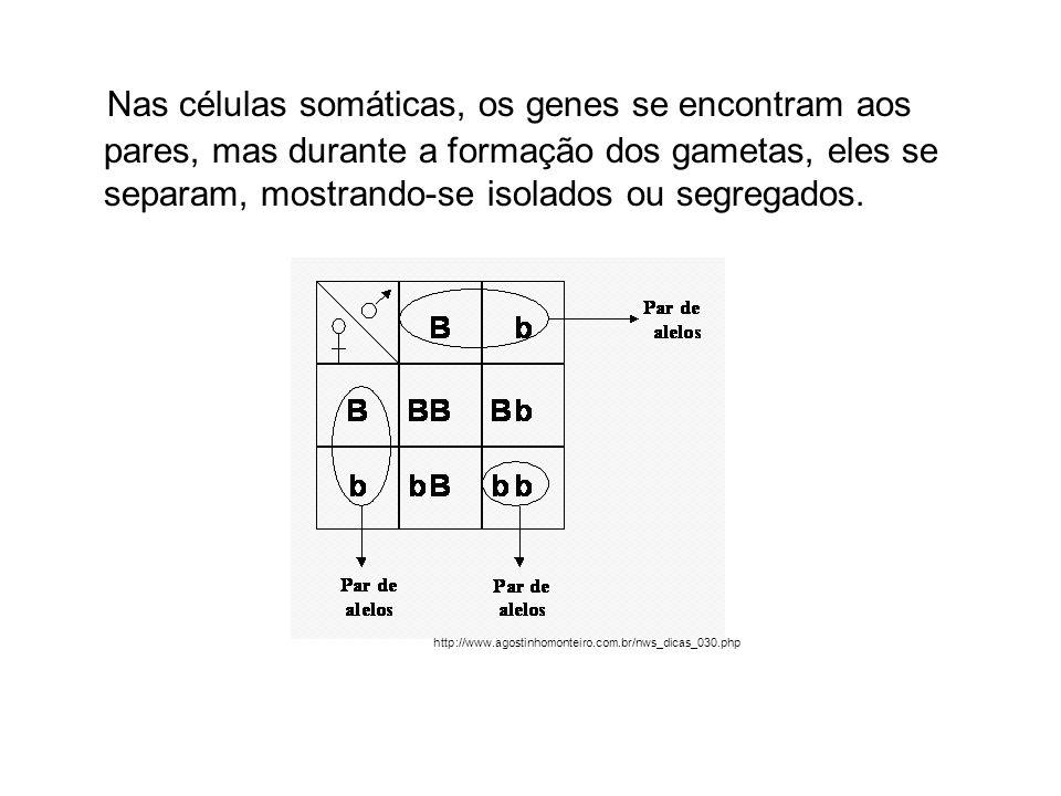 Nas células somáticas, os genes se encontram aos pares, mas durante a formação dos gametas, eles se separam, mostrando-se isolados ou segregados. http