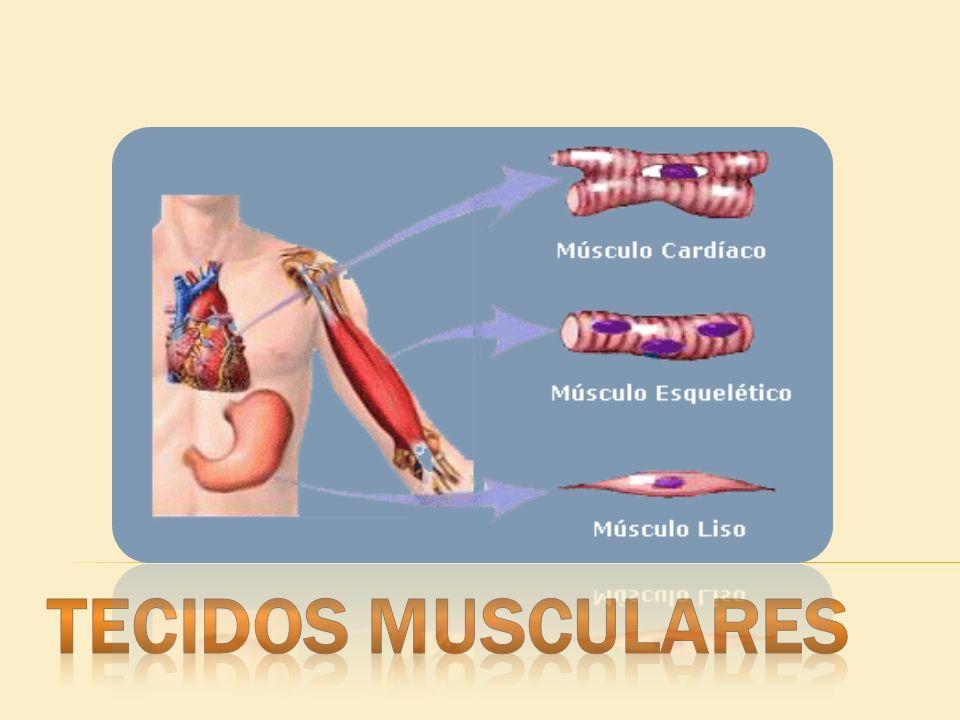 Origem embrionária: mesoderma; Origem embrionária: mesoderma; Relacionados à movimentação dos membros e das vísceras; Relacionados à movimentação dos membros e das vísceras; Tipo celular: fibra muscular ou miócito; Tipo celular: fibra muscular ou miócito; Proteínas filamentosas com capacidade de contração e distensão, os miofilamentos; Proteínas filamentosas com capacidade de contração e distensão, os miofilamentos; Retículo sarcoplasmático granuloso pouco desenvolvido.