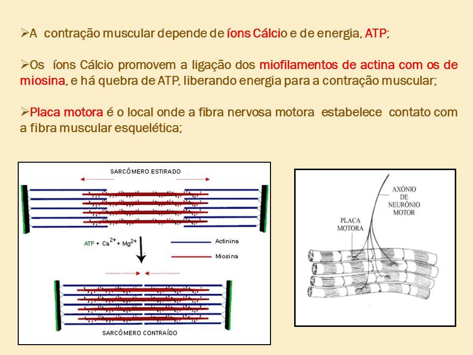 A contração muscular depende de íons Cálcio e de energia, ATP; Os íons Cálcio promovem a ligação dos miofilamentos de actina com os de miosina, e há quebra de ATP, liberando energia para a contração muscular; Placa motora é o local onde a fibra nervosa motora estabelece contato com a fibra muscular esquelética;