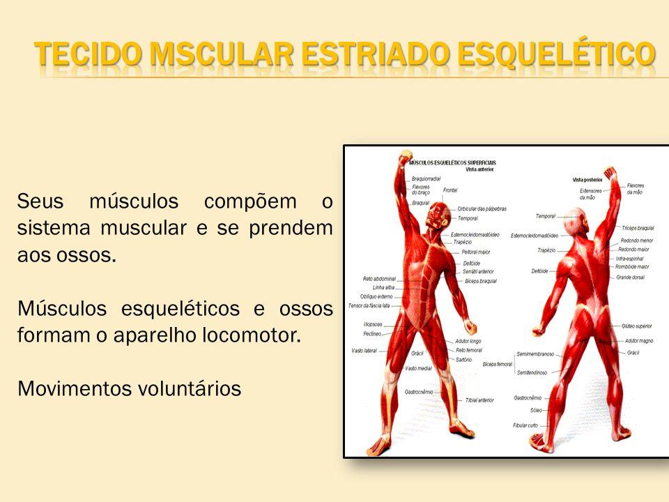 Seus músculos compõem o sistema muscular e se prendem aos ossos. Músculos esqueléticos e ossos formam o aparelho locomotor. Movimentos voluntários