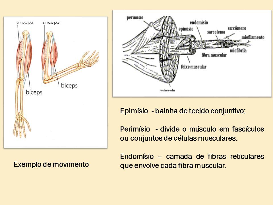 Exemplo de movimento Epimísio - bainha de tecido conjuntivo; Perimísio - divide o músculo em fascículos ou conjuntos de células musculares. Endomísio