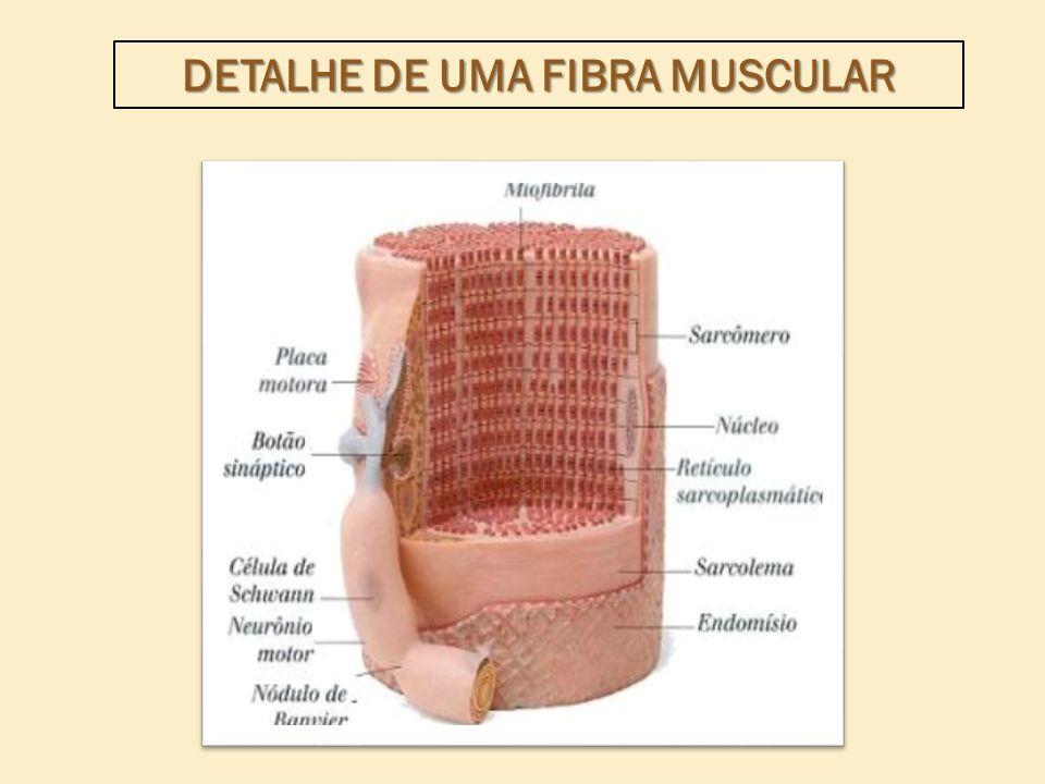 Miofibrila = miosina (miofilamentos espessos) + actina (finos).