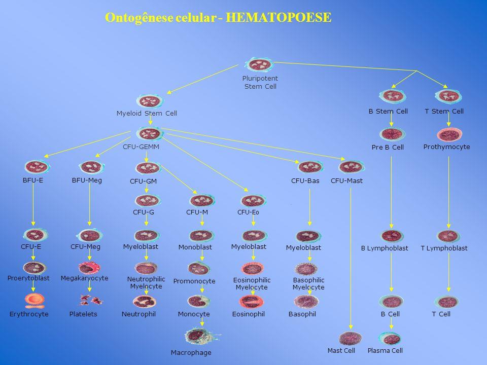 Pluripotent Stem Cell Myeloid Stem Cell CFU-GEMM BFU-EBFU-Meg CFU-GM CFU-G B Stem CellT Stem Cell Pre B Cell Prothymocyte CFU-Bas CFU-Mast CFU-M CFU-E