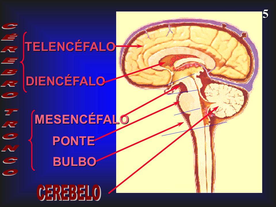 5 TELENCÉFALO MESENCÉFALO DIENCÉFALO PONTE BULBO