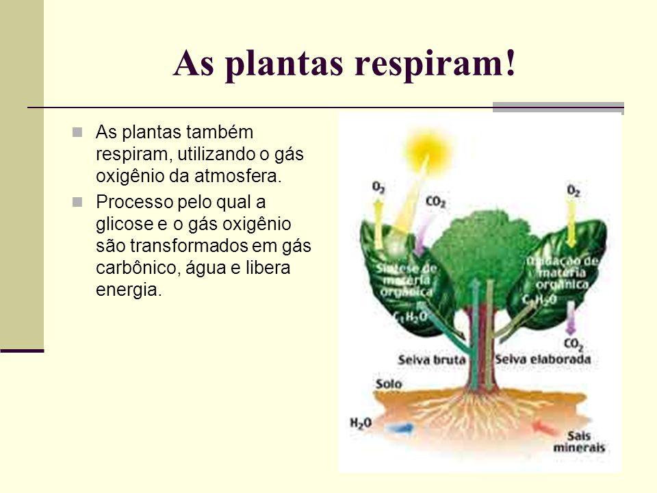 As plantas respiram! As plantas também respiram, utilizando o gás oxigênio da atmosfera. Processo pelo qual a glicose e o gás oxigênio são transformad