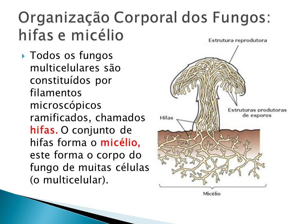 Todos os fungos multicelulares são constituídos por filamentos microscópicos ramificados, chamados hifas. O conjunto de hifas forma o micélio, este fo