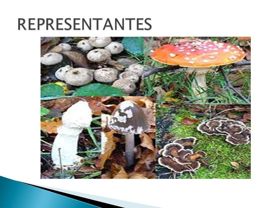 Os fungos parasitas provocam doenças em plantas e em animais, inclusive no homem.