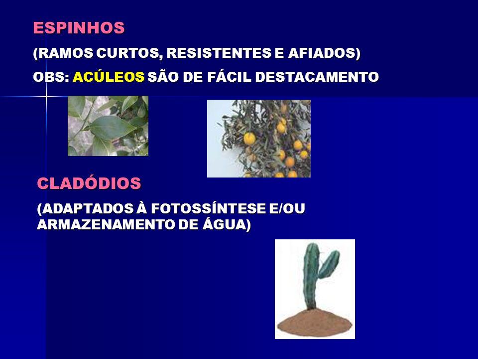 BULBO (CAULES E FOLHAS MODIFICADAS) TIPOSTUNICADOESCAMOSO