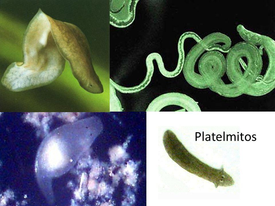 Platelmintos Vermes de corpo achatado; Plati = chato helminto = verme Simetria bilateral; Princípio de cefalização; Excreção especializada.