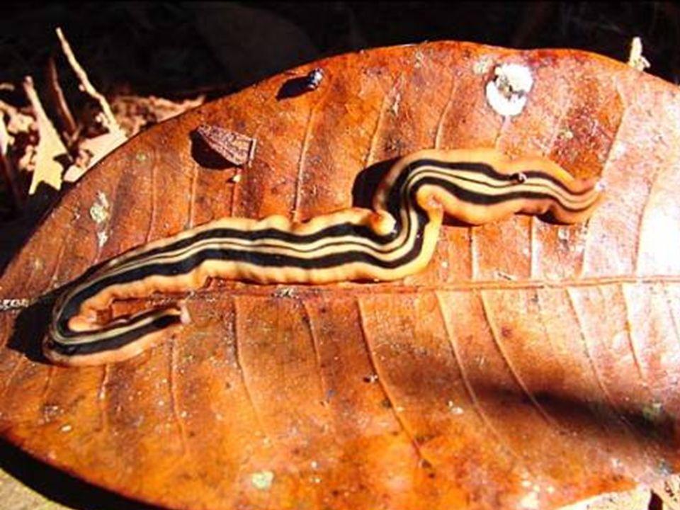 Estrutura Tegumento – Epitélio simples mucoso e ciliado(Cutícula em parasitas); S.