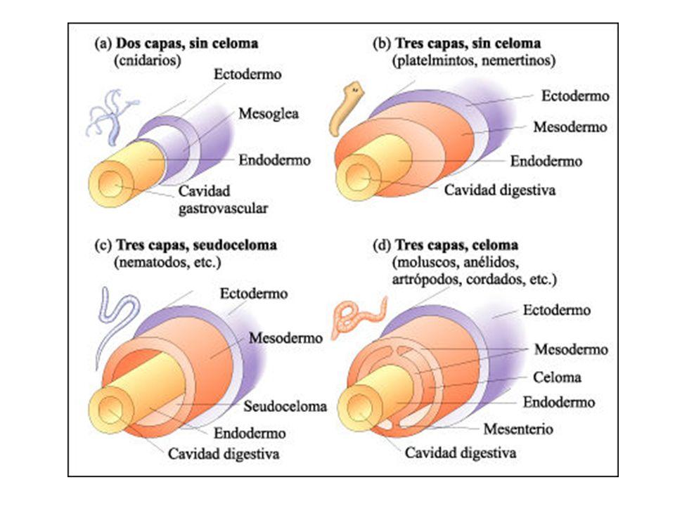 Sistema digestório Tubo digestório: incompleto, boca; faringe e intestino, egestão pela boca Digestão extra e intracelular (Solitária ausente) Faringe ocelos