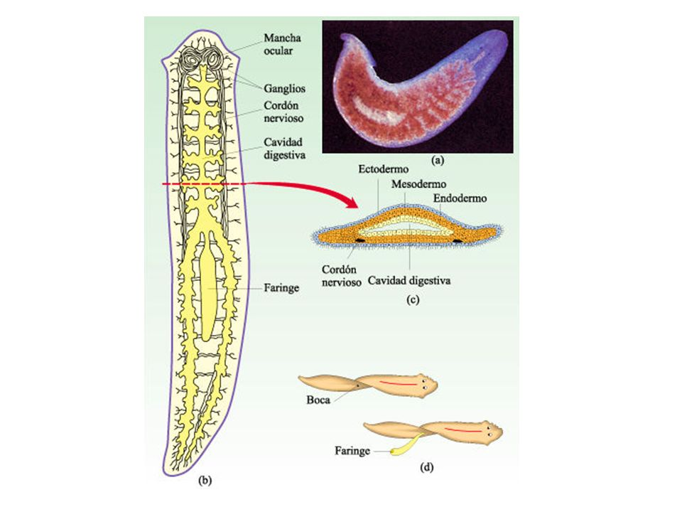Fisiologia Sistema circulatório – não existe (distribuição pelo líquido do pseudoceloma); Sistema respiratório – difusão ( Respiração anaeróbia nos parasitas); Sistema excretor – simples e duplo Tubo em H; Sistema nervoso – Anéis envolta do esôfago com cordões longitudinais.