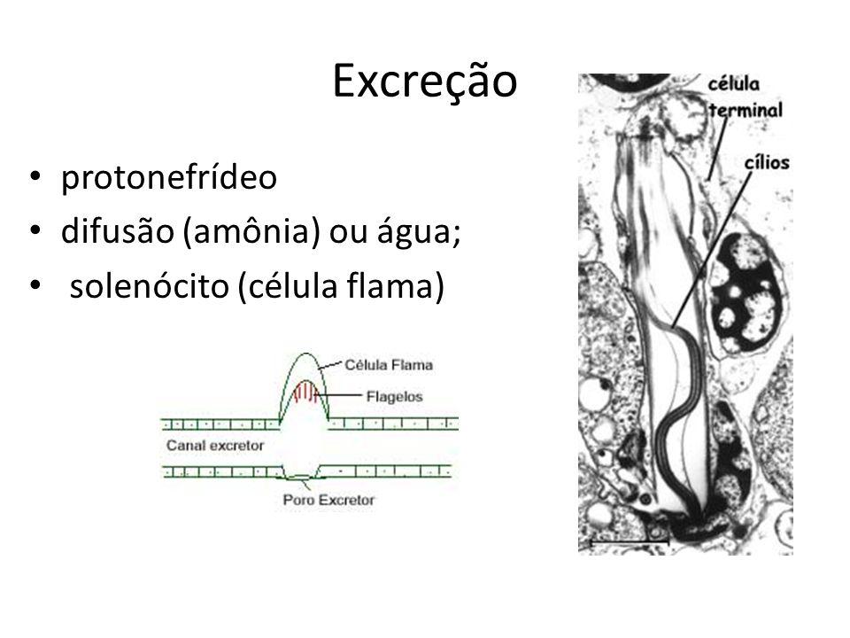 Excreção protonefrídeo difusão (amônia) ou água; solenócito (célula flama)