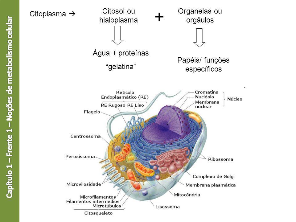 Citoplasma Citosol ou hialoplasma Organelas ou orgâulos + Água + proteínas gelatina Papéis/ funções específicos