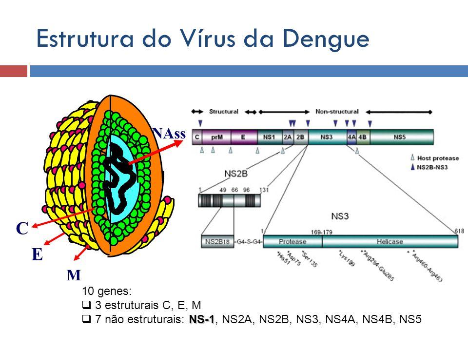 RNAss v M E C Estrutura do Vírus da Dengue 10 genes: 3 estruturais C, E, M NS-1 7 não estruturais: NS-1, NS2A, NS2B, NS3, NS4A, NS4B, NS5