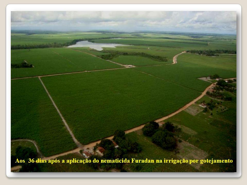 Aos 36 dias após a aplicação do nematicida Furadan na irrigação por gotejamento