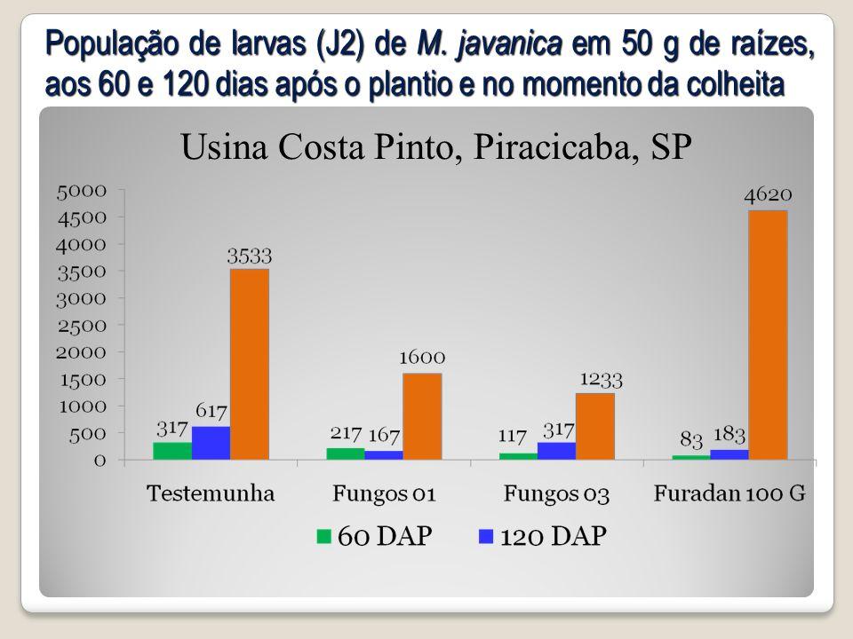 População de larvas (J2) de M. javanica em 50 g de raízes, aos 60 e 120 dias após o plantio e no momento da colheita Usina Costa Pinto, Piracicaba, SP