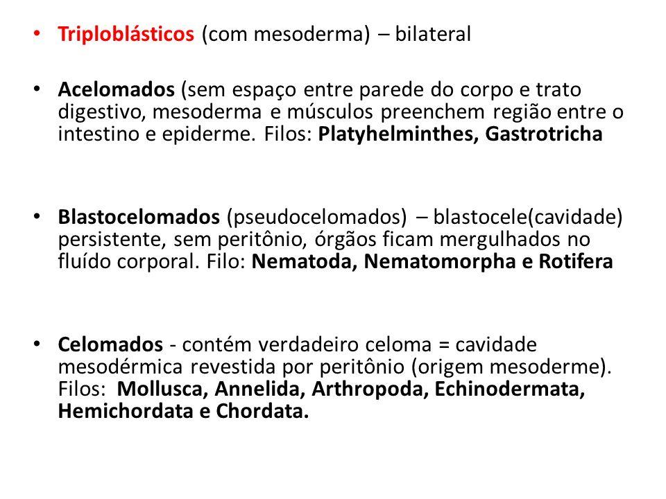 Triploblásticos (com mesoderma) – bilateral Acelomados (sem espaço entre parede do corpo e trato digestivo, mesoderma e músculos preenchem região entr