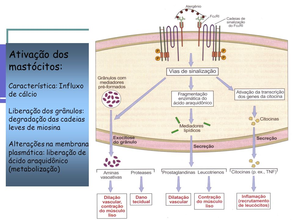 Ativação dos mastócitos: Característica: Influxo de cálcio Liberação dos grânulos: degradação das cadeias leves de miosina Alterações na membrana plas