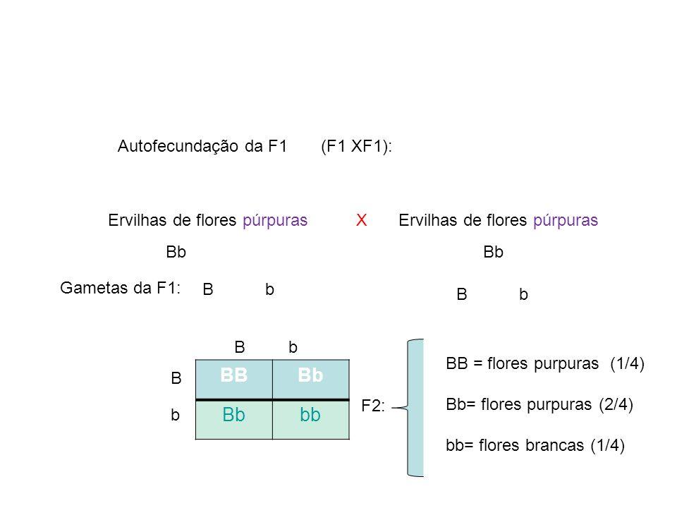 F2: B b X Gametas da F1: Bb Autofecundação da F1 (F1 XF1): Ervilhas de flores púrpuras BBBb bb Bb B b BB = flores purpuras (1/4) Bb= flores purpuras (