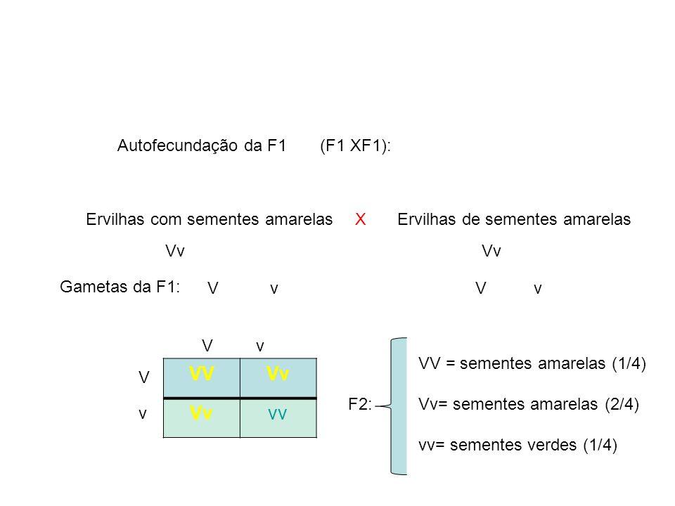 F2: V v X Gametas da F1: Vv Autofecundação da F1 (F1 XF1): Ervilhas com sementes amarelasErvilhas de sementes amarelas VVVv vv Vv V v VV = sementes am