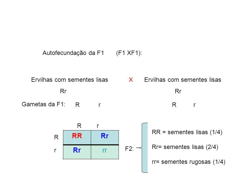 F2: R r X Gametas da F1: Rr Autofecundação da F1 (F1 XF1): Ervilhas com sementes lisas RRRr rr Rr R r RR = sementes lisas (1/4) Rr= sementes lisas (2/