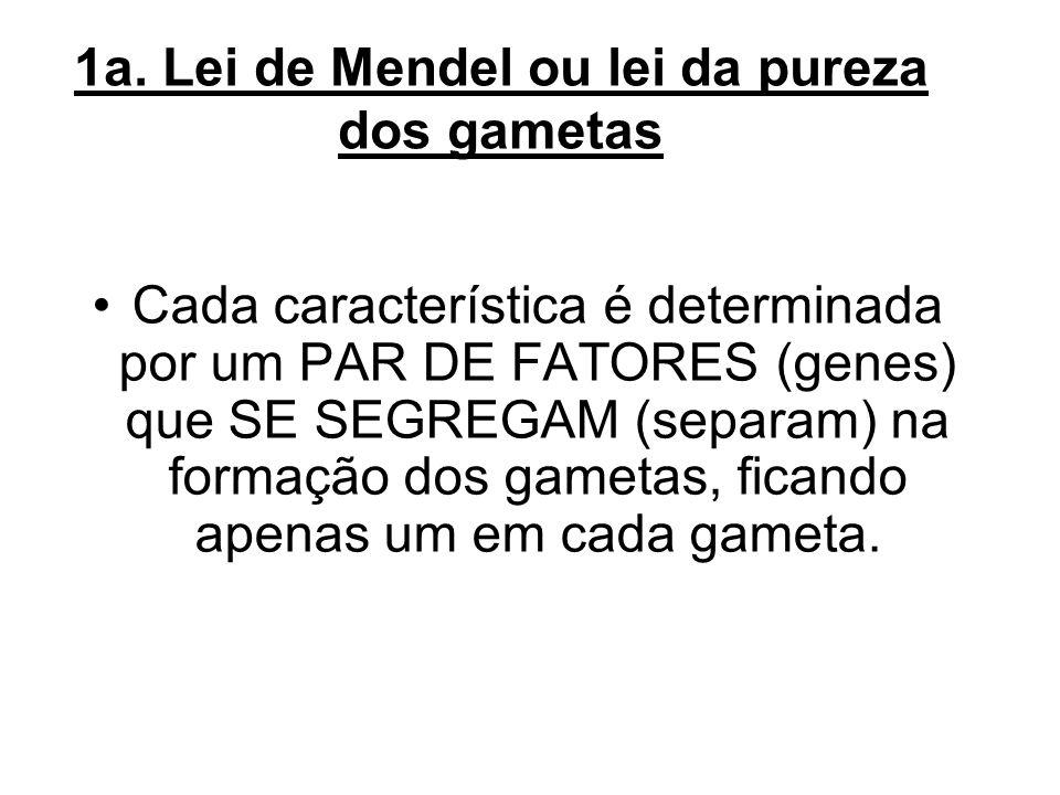 1a. Lei de Mendel ou lei da pureza dos gametas Cada característica é determinada por um PAR DE FATORES (genes) que SE SEGREGAM (separam) na formação d
