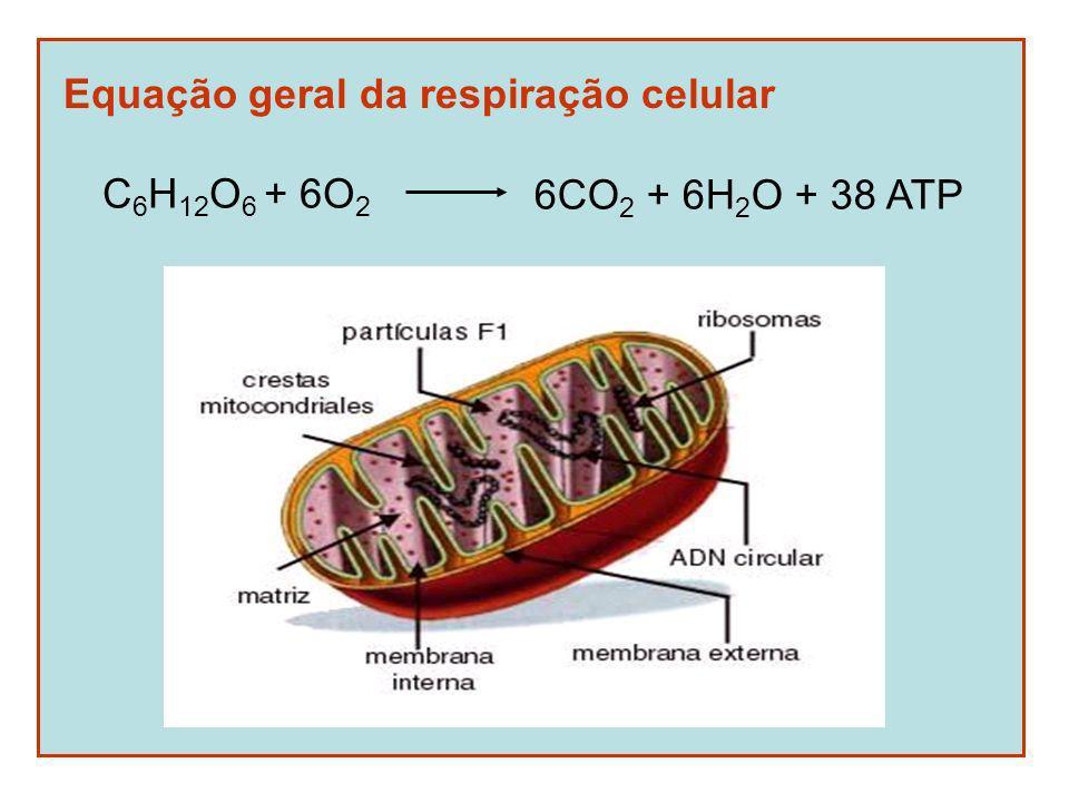 Equação geral da respiração celular C 6 H 12 O 6 + 6O 2 6CO 2 + 6H 2 O + 38 ATP