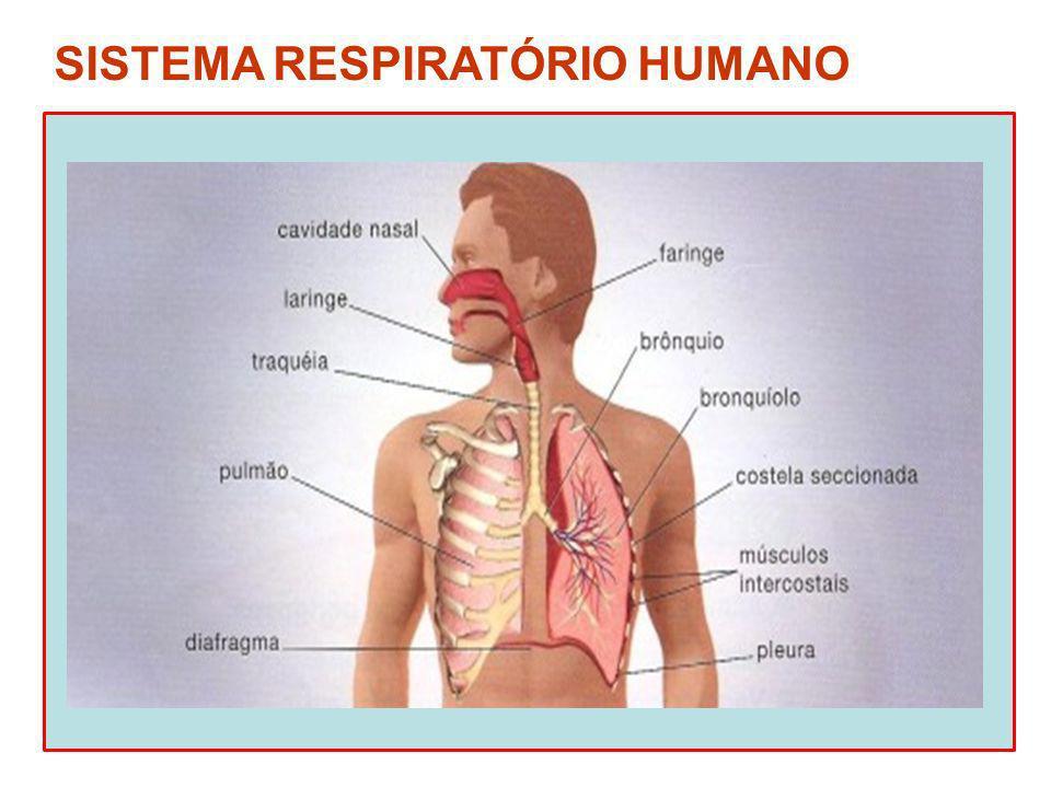 Narinas e fossas nasais Entrada e saída de ar do organismo Aquecimento, filtração (muco e vibrissas nasais) e umedecimento do ar Limpada clássica