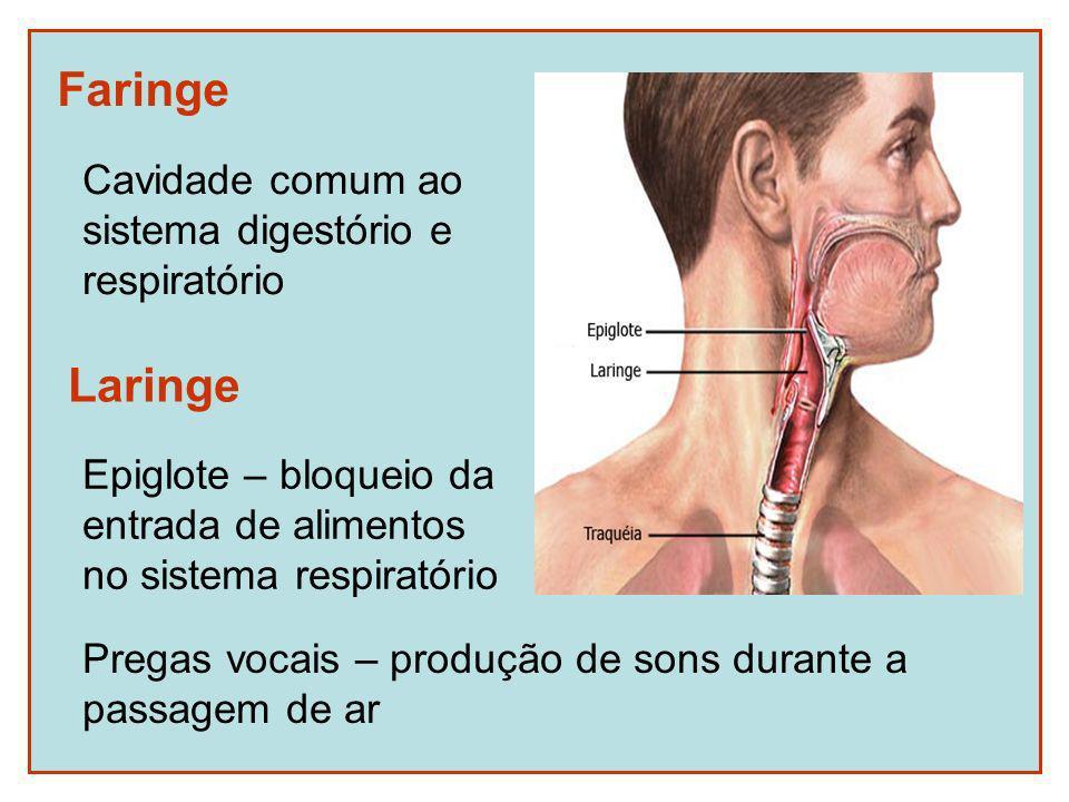 Faringe Laringe Cavidade comum ao sistema digestório e respiratório Epiglote – bloqueio da entrada de alimentos no sistema respiratório Pregas vocais