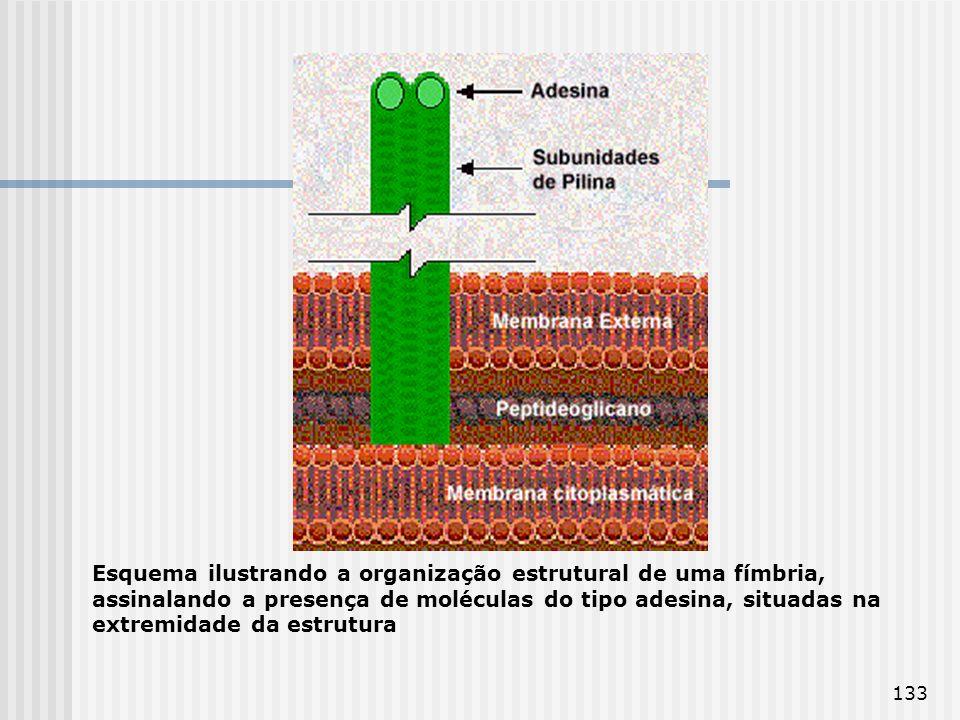 133 Esquema ilustrando a organização estrutural de uma fímbria, assinalando a presença de moléculas do tipo adesina, situadas na extremidade da estrut