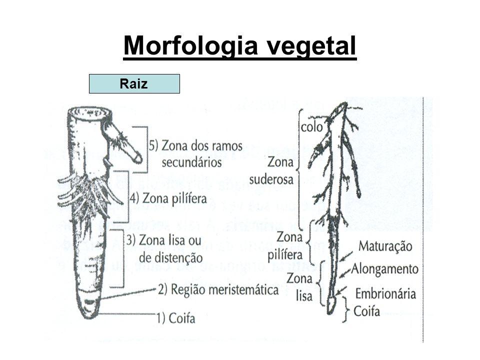 Raízes subterrâneas Raiz aprumada, raiz axial ou raiz pivotante - apresentam raiz principal, coifa menor do que as demais, seu comprimento é maior que o das outras, e também ramificações ou raízes secundárias.