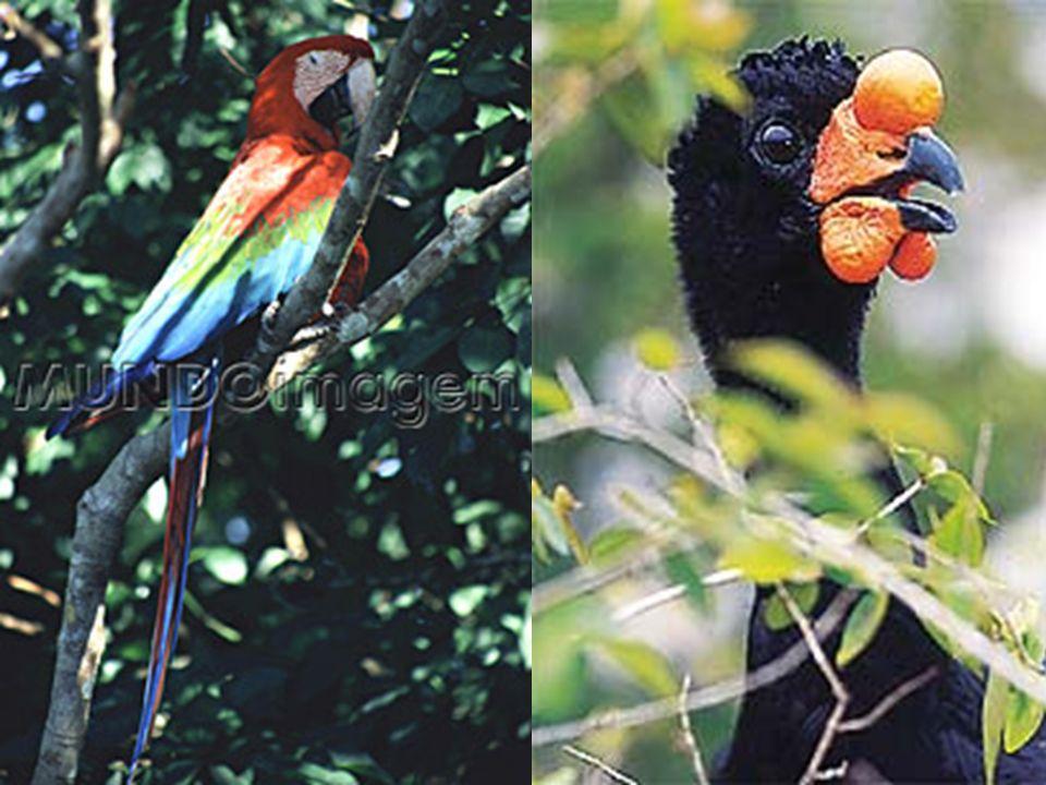 Fotos Araquém Alcântara cântara cântara Uacari-branco-só existe na reserva de Mamirauá, no Amazonas. O apelido vem do corpo branco e da cara vermelha,
