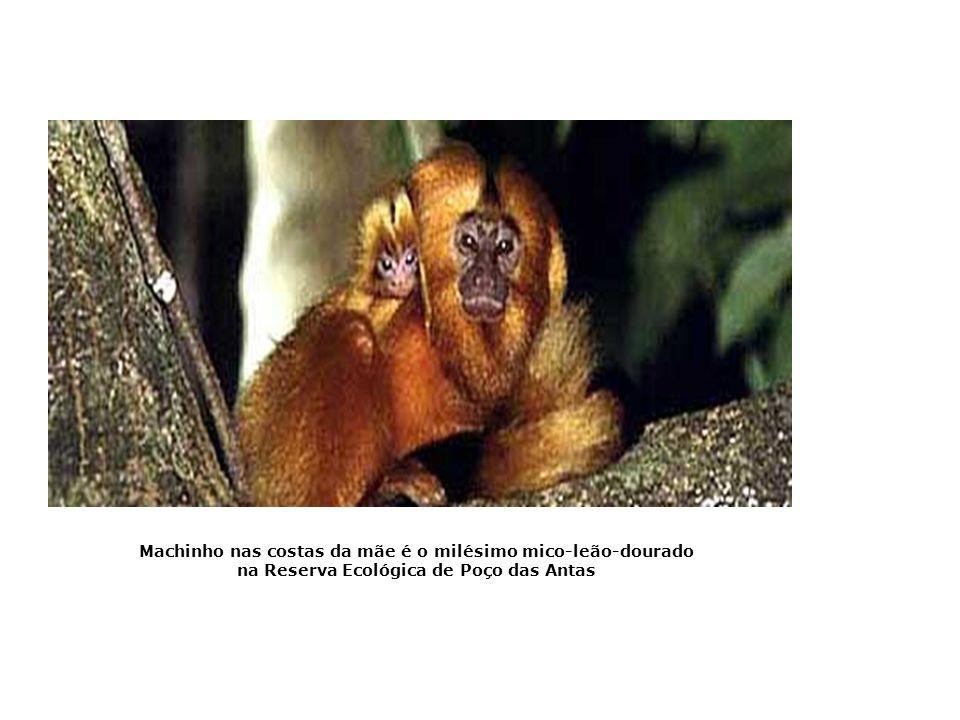 Pesquisa em cativeiro preservando os micos-leões Mico-leão-da-cara-dourada Mico-leão-preto O macaco Muriqui (Brachyteles arachnoides ), que só é encon
