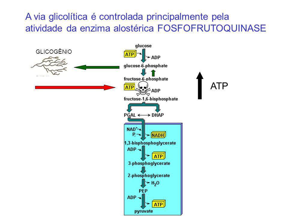 A via glicolítica é controlada principalmente pela atividade da enzima alostérica FOSFOFRUTOQUINASE GLICOGÊNIO ATP