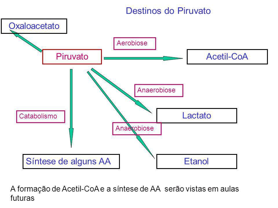 PiruvatoAcetil-CoA Aerobiose Síntese de alguns AA Anaerobiose Lactato Catabolismo A formação de Acetil-CoA e a síntese de AA serão vistas em aulas fut