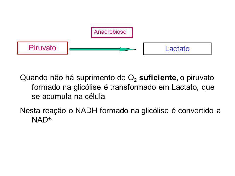 Piruvato Anaerobiose Lactato Quando não há suprimento de O 2 suficiente, o piruvato formado na glicólise é transformado em Lactato, que se acumula na