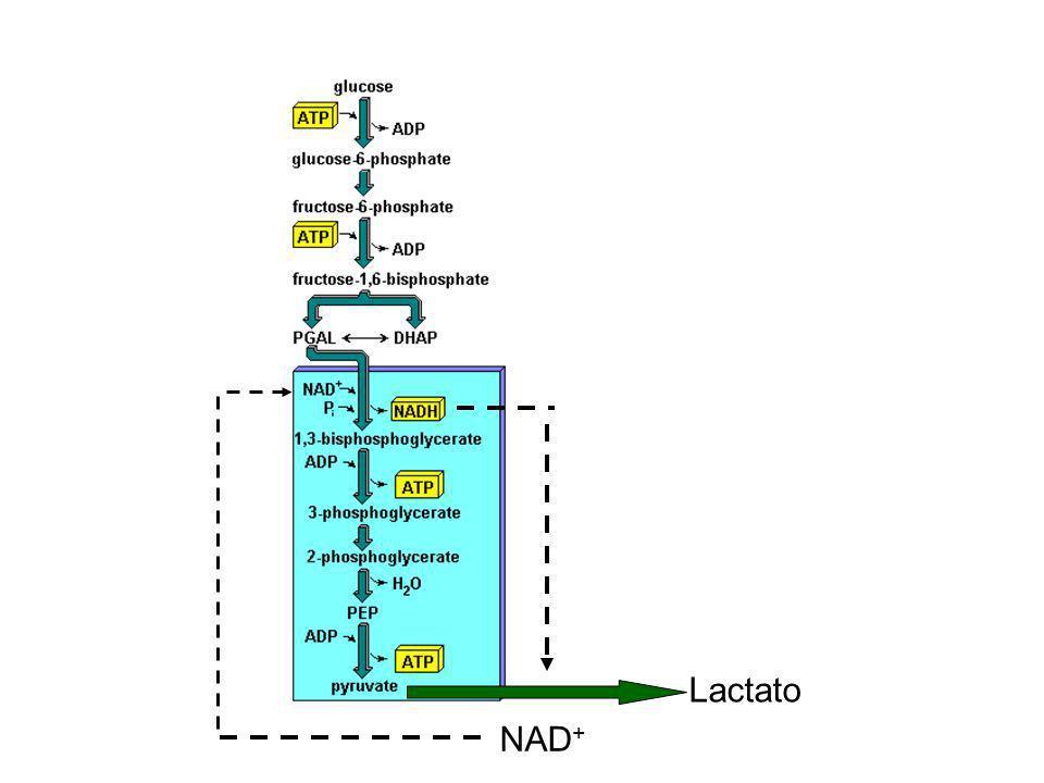 Lactato NAD +