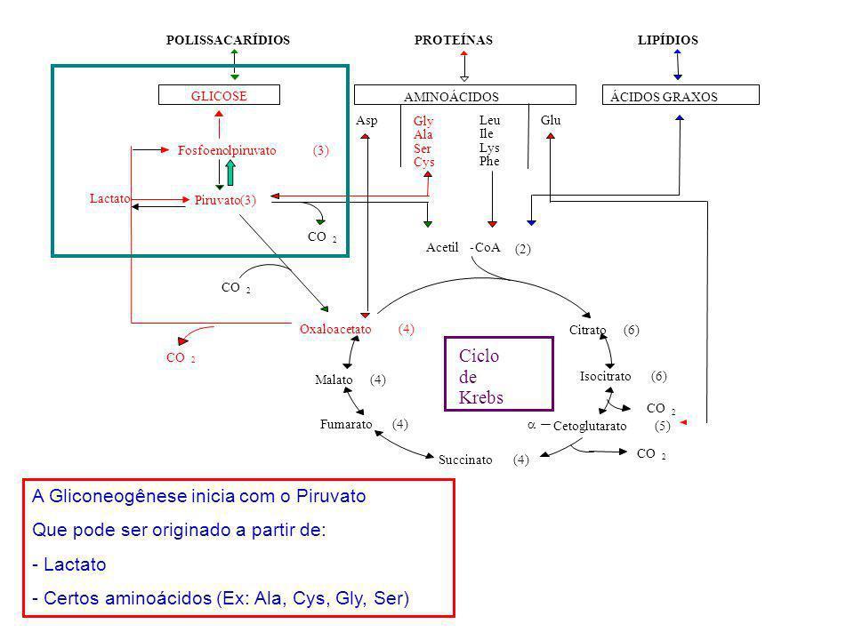 A Gliconeogênese inicia com o Piruvato Que pode ser originado a partir de: - Lactato - Certos aminoácidos (Ex: Ala, Cys, Gly, Ser)